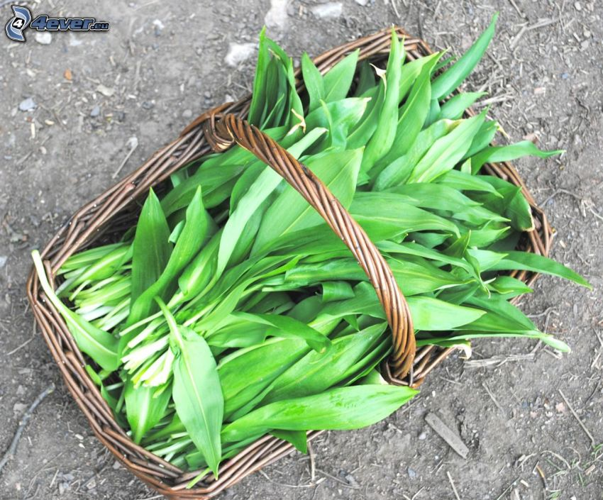 wild garlic, basket