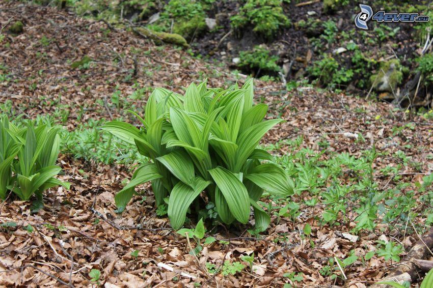wild garlic, dry leaves