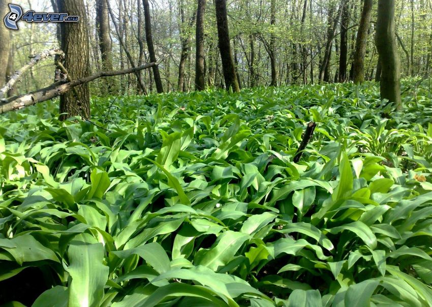 wild garlic, forest