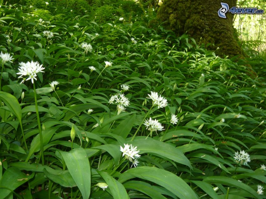 wild garlic, moss, white flowers