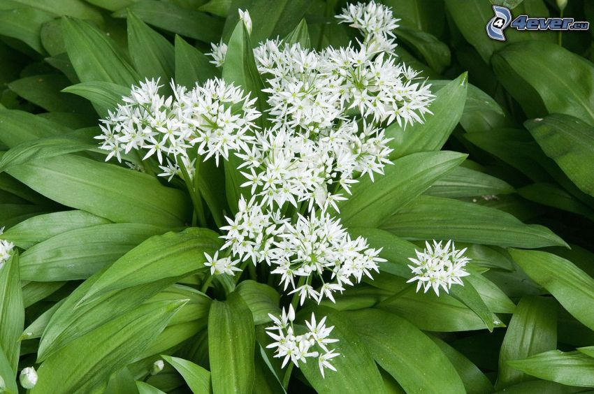 wild garlic, white flower