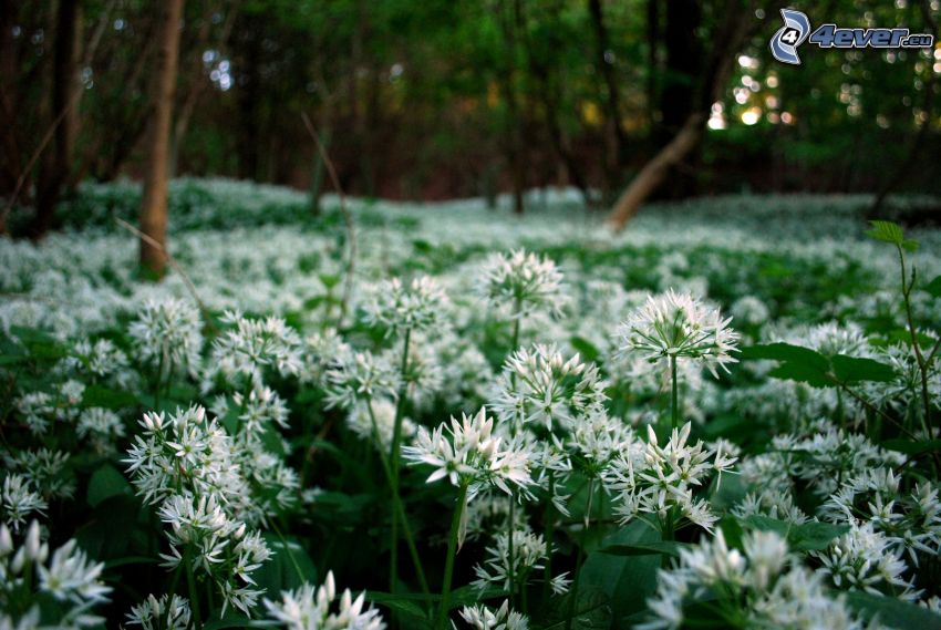 wild garlic, white flowers