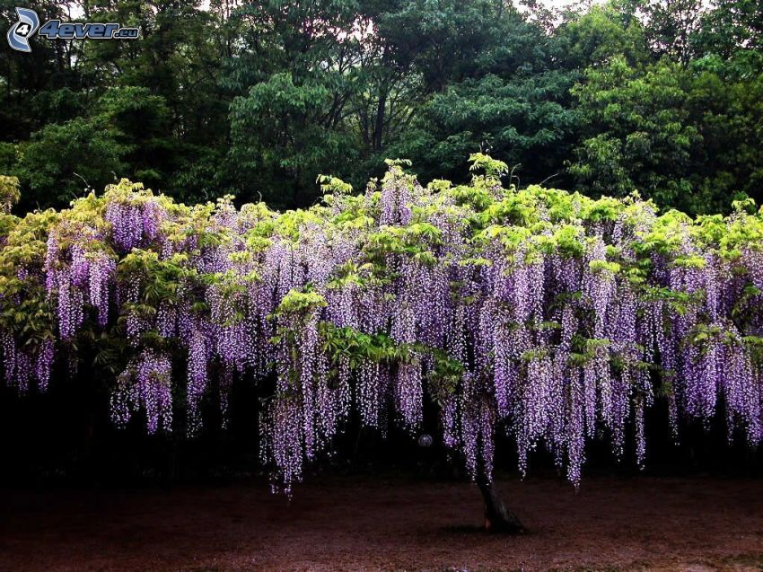 wisteria, purple tree, trees