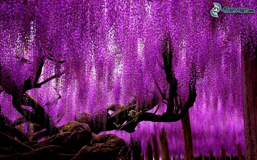 wisteria, purple tree