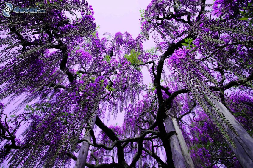 wisteria, purple trees