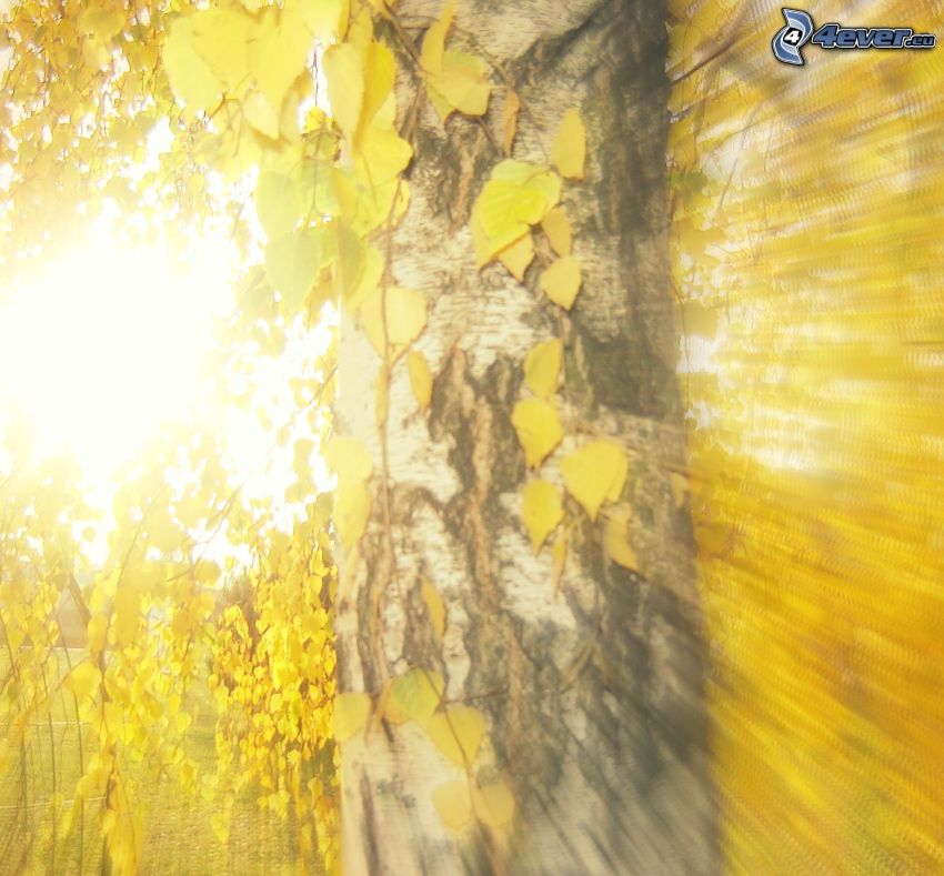 yellow autumn forest, birch, yellow leaves, sunbeams