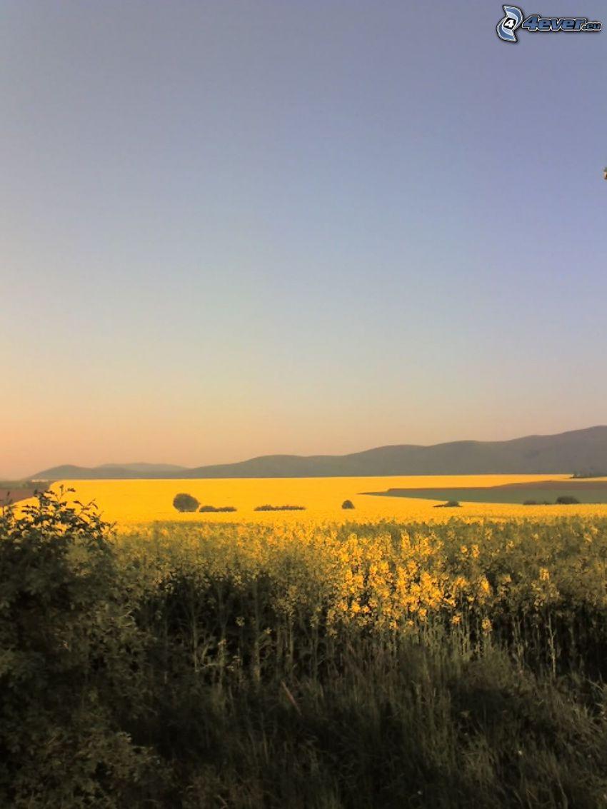 yellow field, view