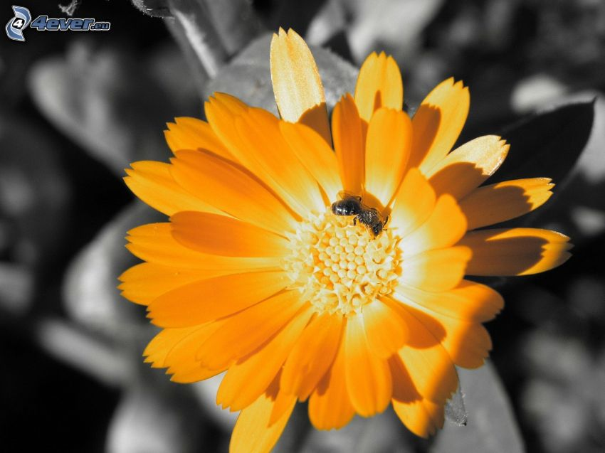yellow flower, bee on flower