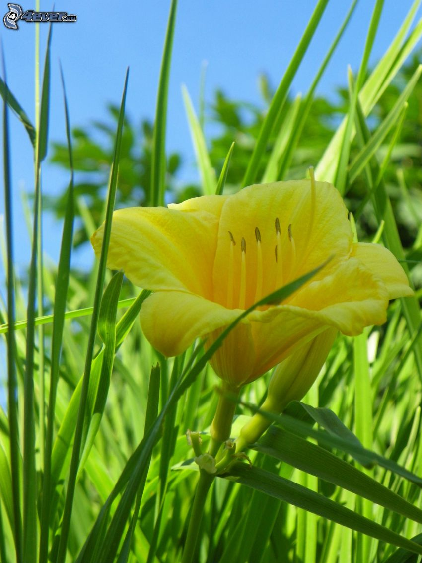 yellow flower, blades of grass