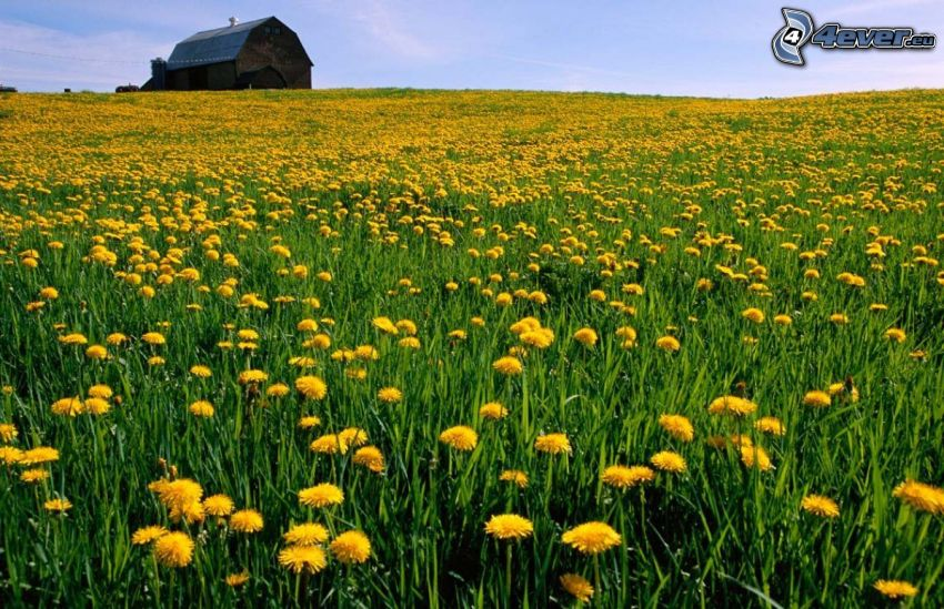 yellow meadow, dandelion, american farm, house