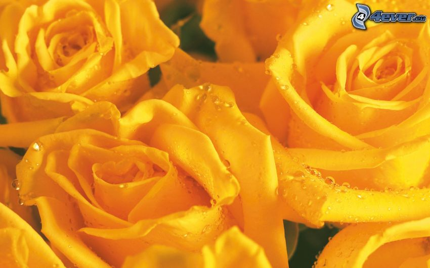 yellow roses, dewy rose