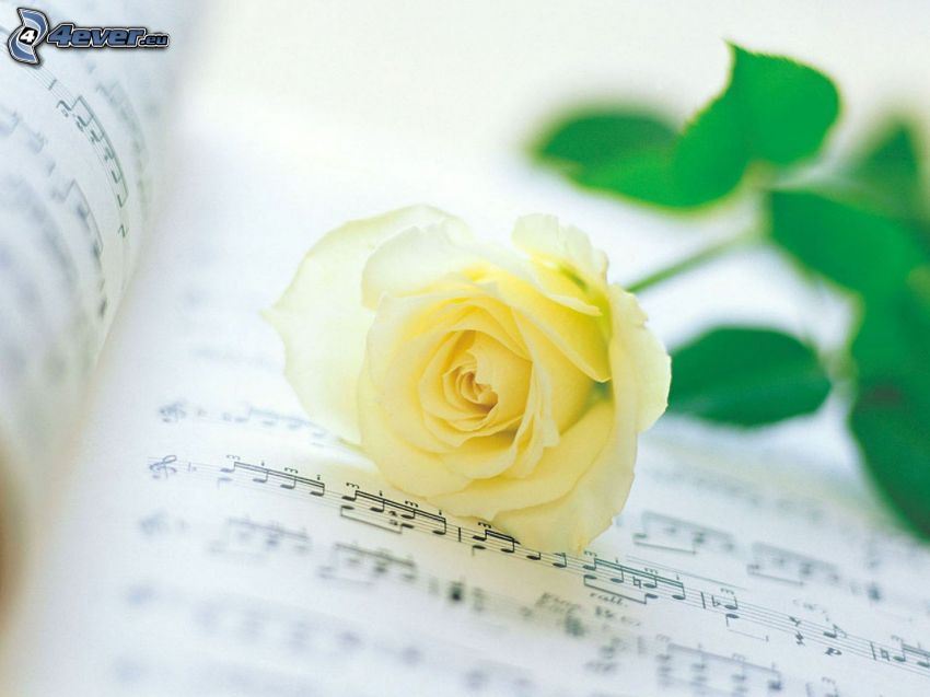 Yellow roses, sheet of music