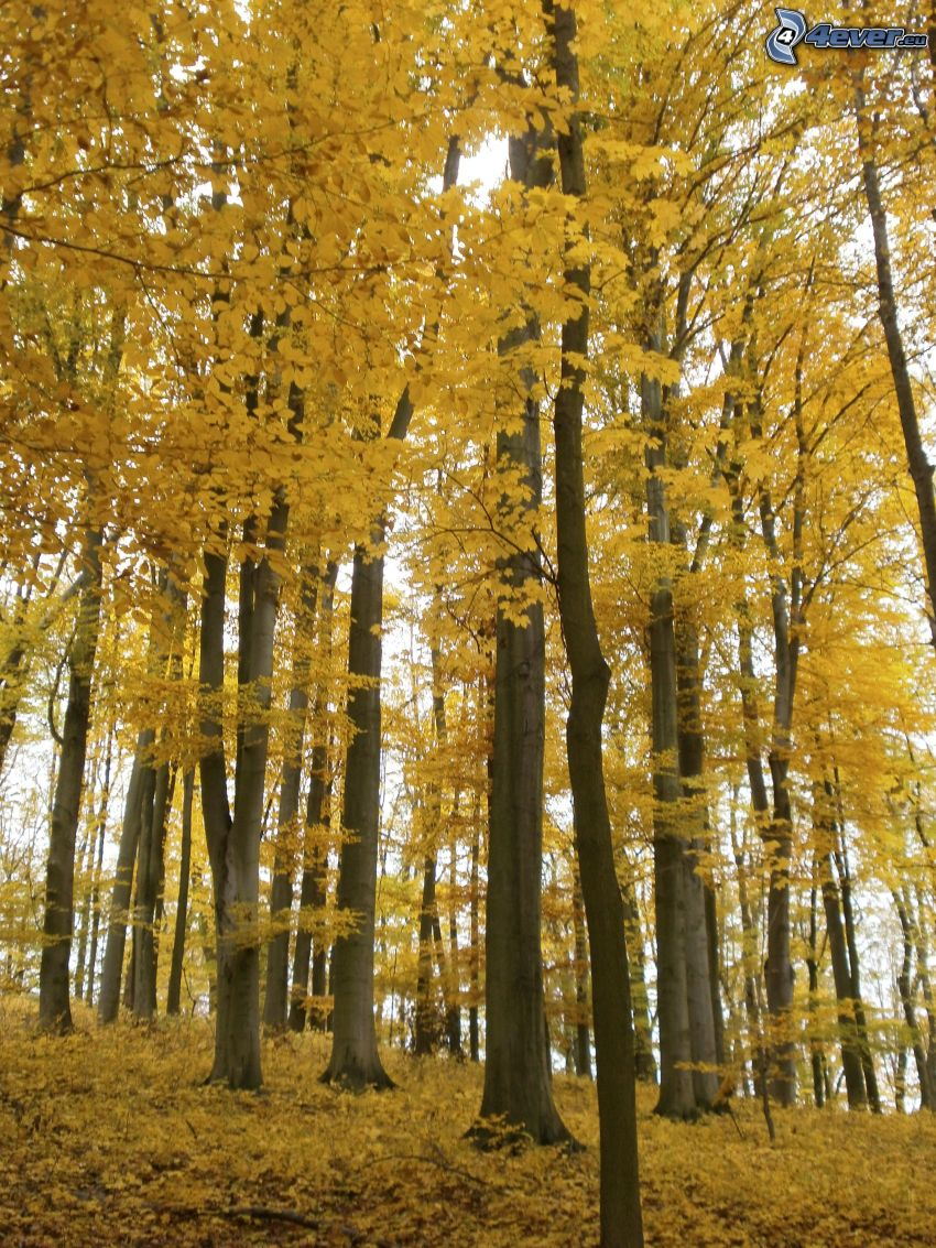 yellow trees, logs