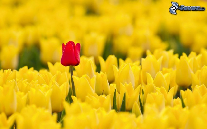 yellow tulips, blood-red tulip