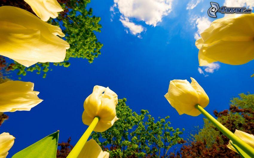 yellow tulips, blue sky
