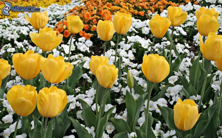 yellow tulips, flowers