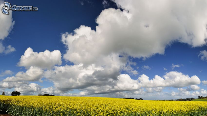 rapeseed, clouds