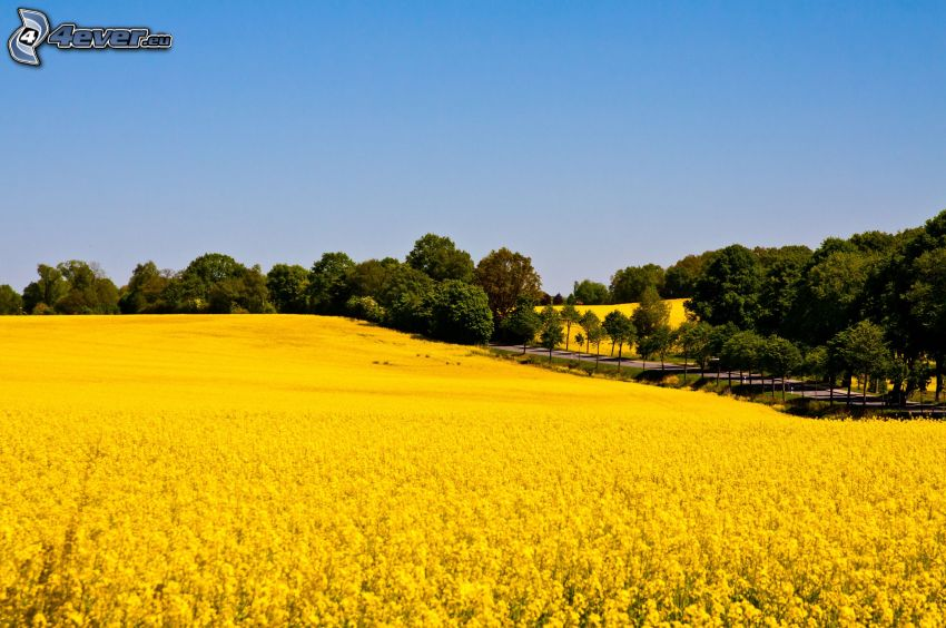 rapeseed, field, road, avenue of trees