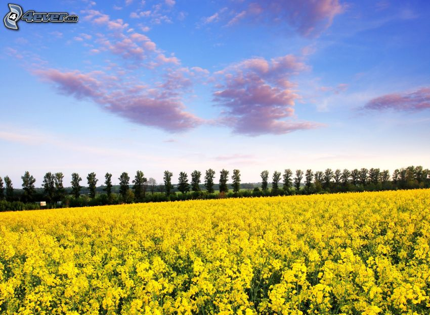 rapeseed, tree line, clouds