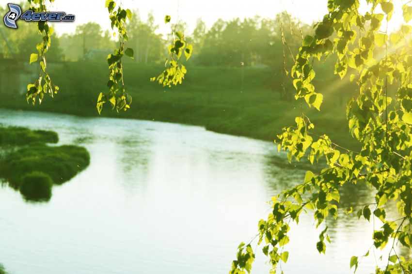 River, trees, green leaves, greenery