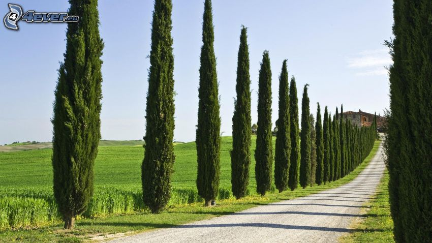 road, avenue of trees, poplars