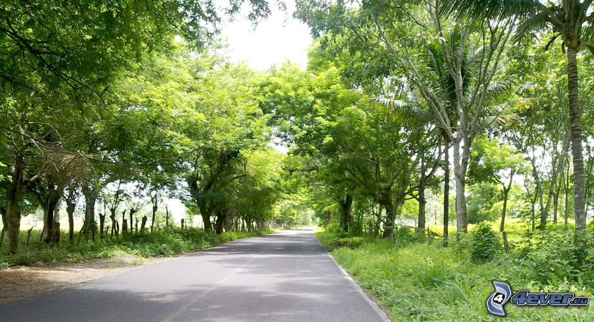 road, avenue of trees