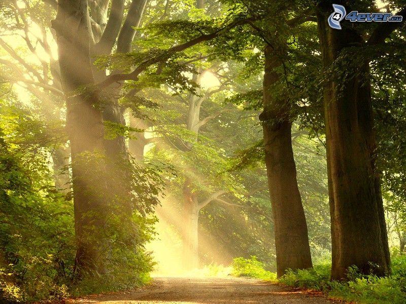 road through forest, huge trees, sunbeams