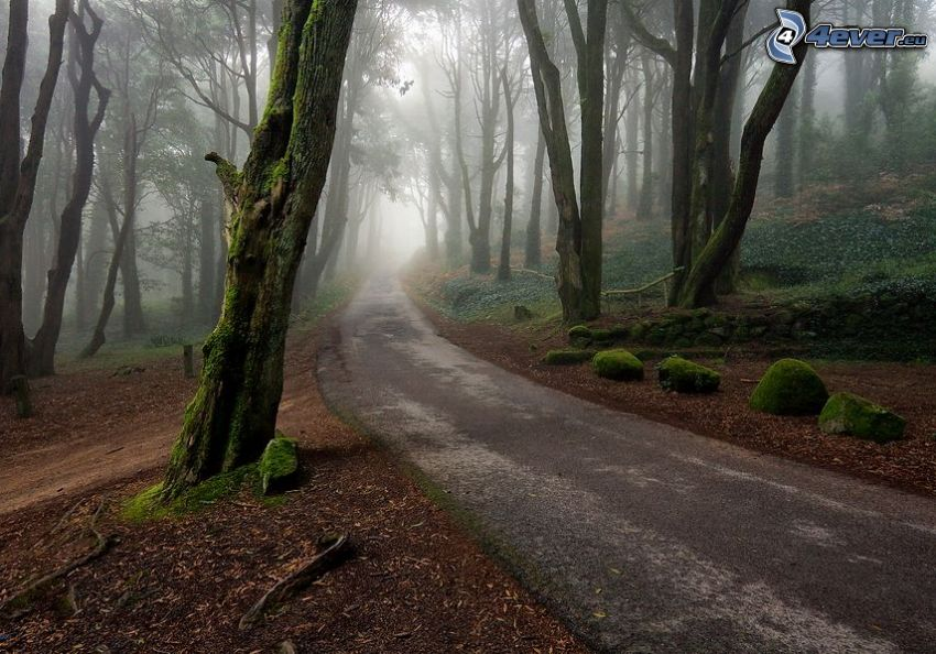 road through forest, trees, rocks, moss, fog