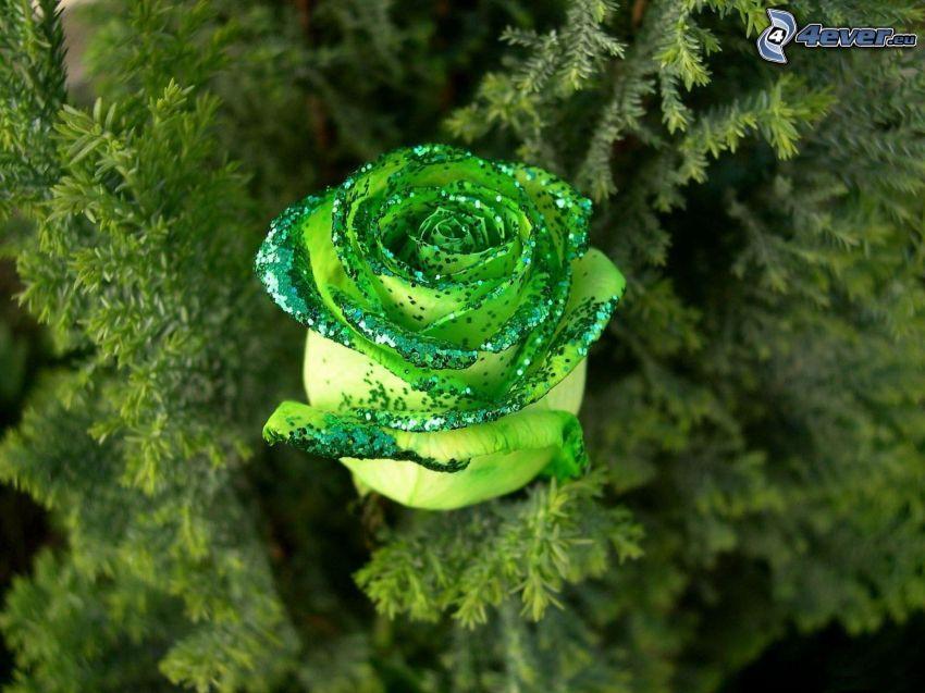 rose, conifer twig