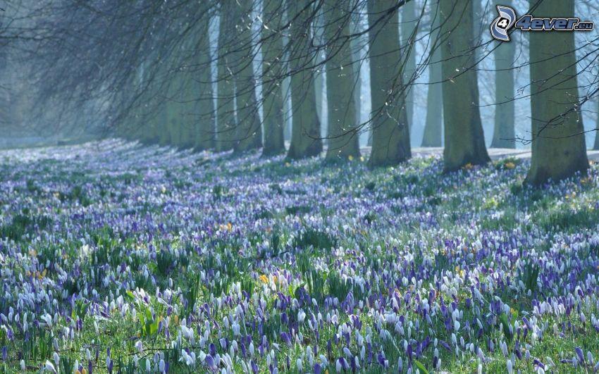 saffrons, blue flowers, trees