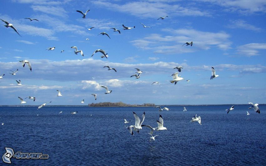 gulls, sea, flock of birds, island