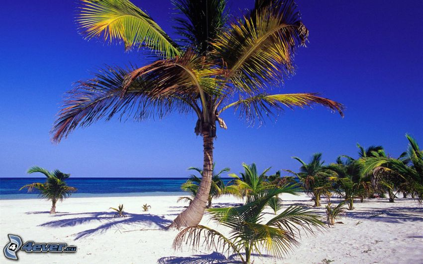 palm trees on the beach, sea