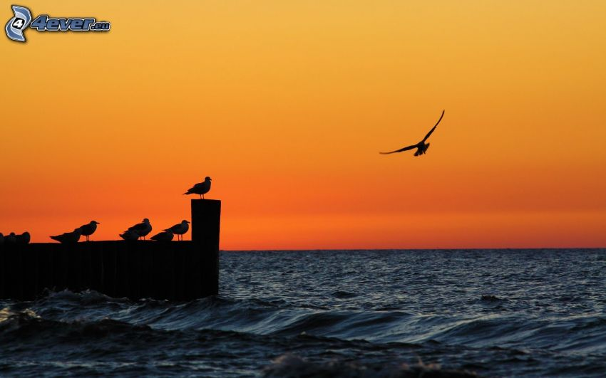 silhouette, birds, sea, silhouette of the bird