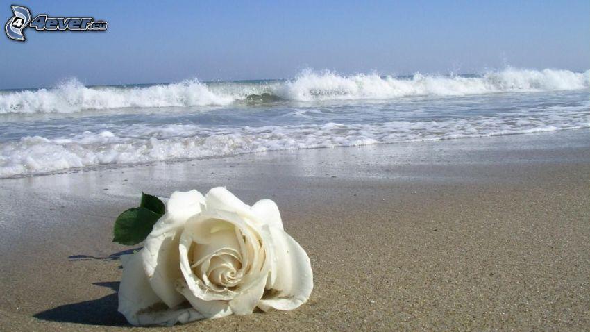 White rose, sandy beach, sea
