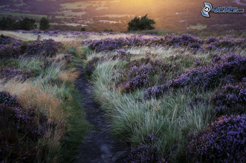 sidewalk, meadow, purple flowers