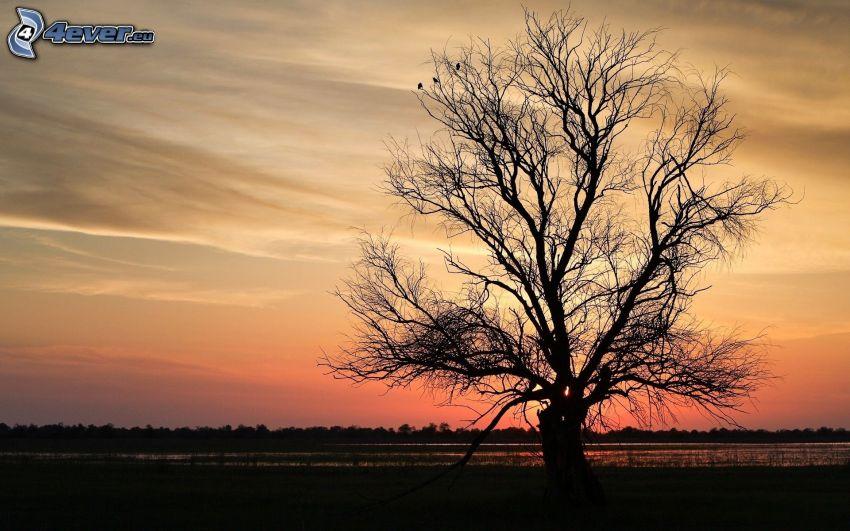 silhouette of tree, spreading tree, evening sky