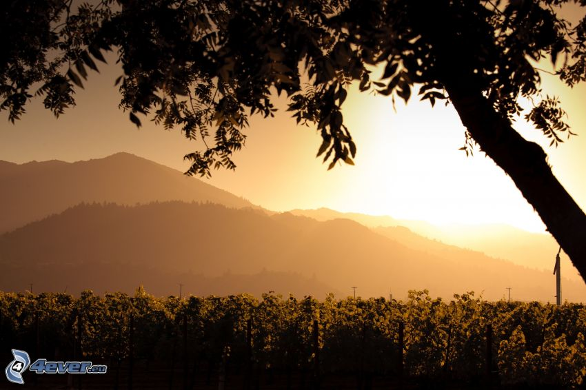 silhouette of tree, vineyard, sunset over mountains, orange sky