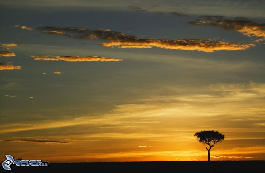 sunset on the savannah, lonely tree, silhouette of tree, meadow, evening dawn