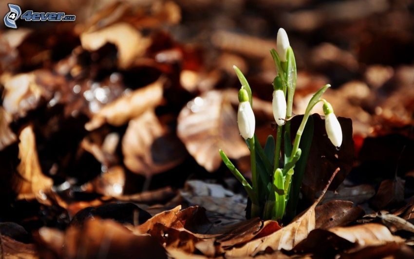 snowdrops, dry leaves