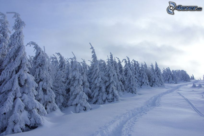 snowy forest, snowy trees, road