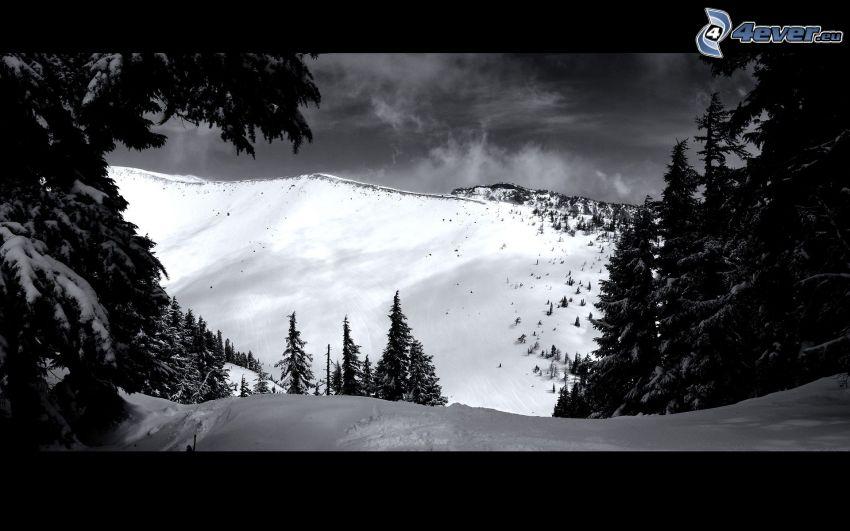 snowy hill, coniferous trees