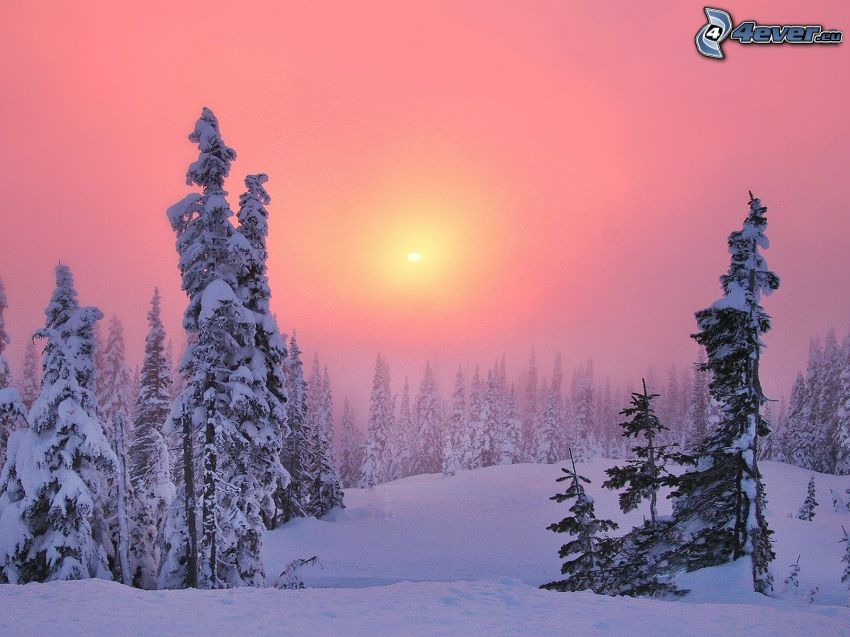 snowy trees, snow, weak sun, pink sky