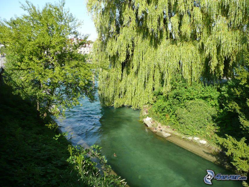 stream, trees, willow