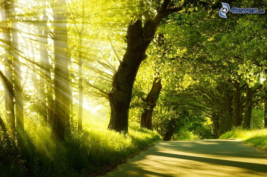 sunbeams, road through forest, green trees