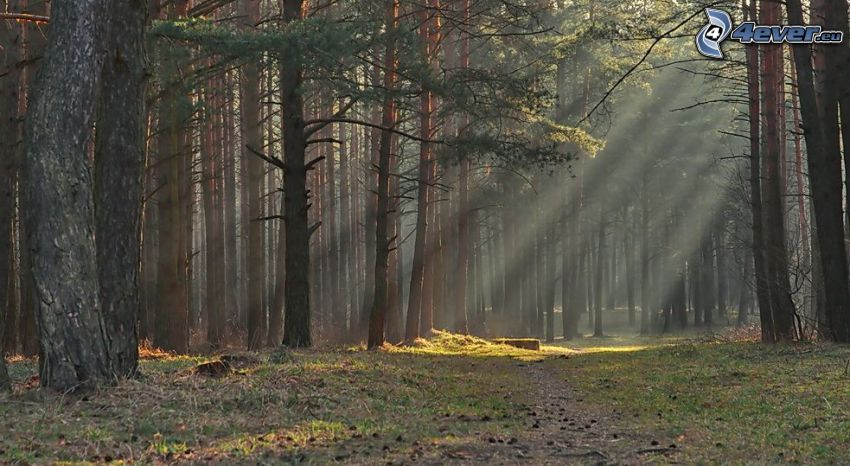 sunbeams in forest, coniferous forest