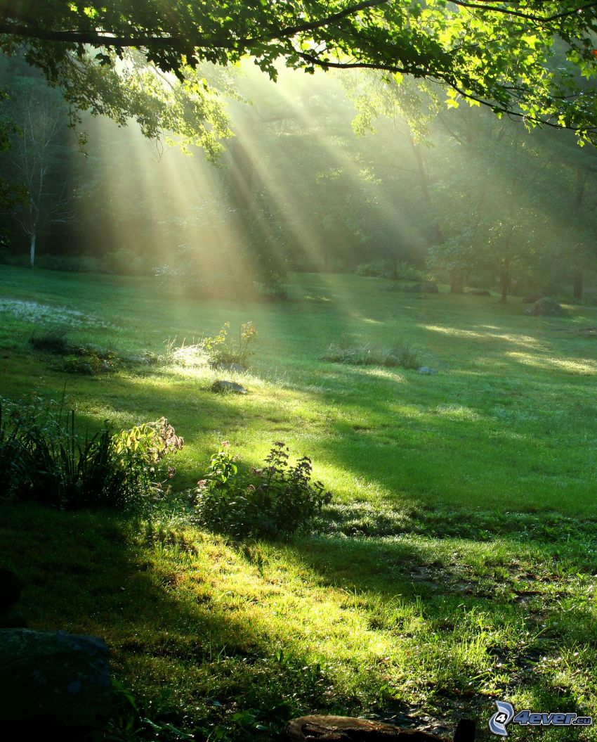 sunbeams in forest, trees, clearing, greenery