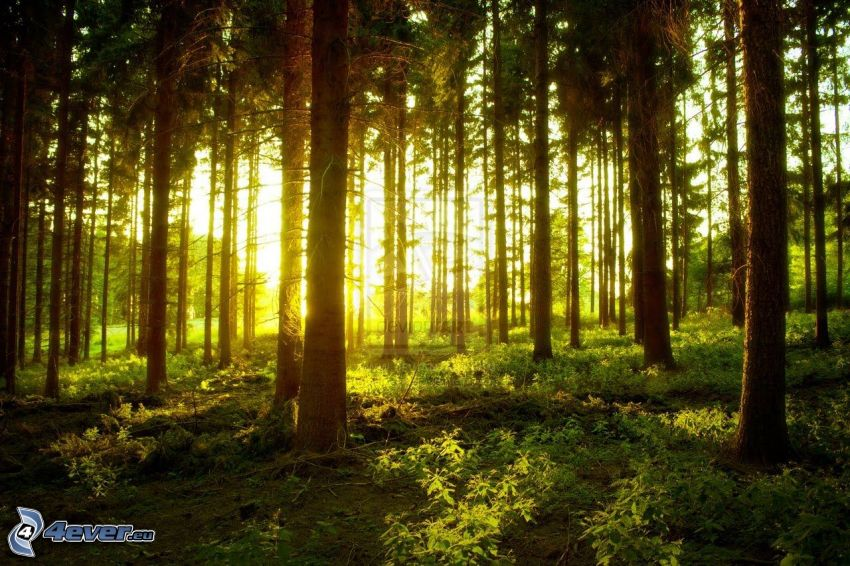 sunset in forest, greenery