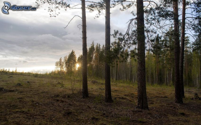 sunset in the forest, coniferous forest
