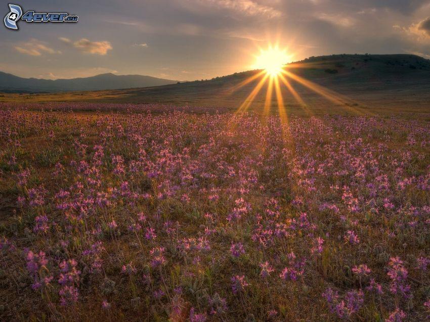 sunset in the meadow, purple flowers