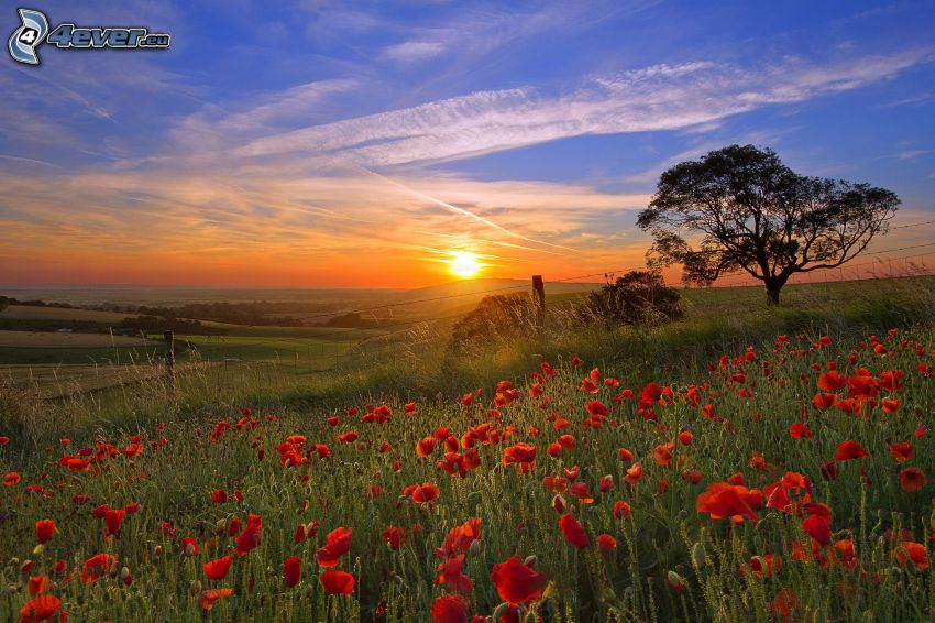sunset in the meadow, spreading tree, papaver rhoeas, contrail